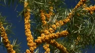 Stock Video Footage of Seabuckthorn - Hippophae rhamnoides - Baltic Sea, Northern Germany