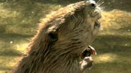 Beaver Close Up Stock Footage