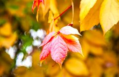 autumn red lea? on golden foliage background - stock photo