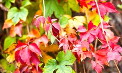 autumnal red and green foliage - stock photo