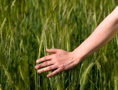 woman hand in barley field - stock photo