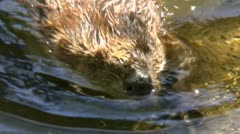 Beaver Stands On Two Legs Stock Footage