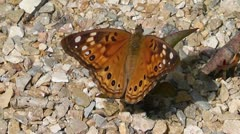 Painted Lady Butterfly Closeup Stock Footage