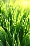 green grass and sun beams - stock photo