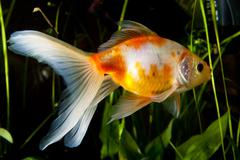gold fish isolated on white with water bubbles - stock photo