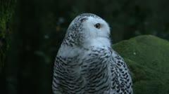 Snow owl looking around Stock Footage