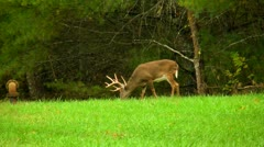Large white tail deer buck ten point antler Stock Footage