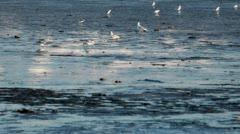 Shorebird at Mud Bay Stock Footage