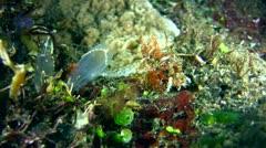 Raggy scorpionfish (Scorpaenopsis venosa), juvenile Stock Footage