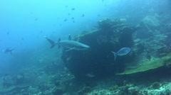 Whitetip reef shark (Triaenodon obesus) swimming close by - stock footage