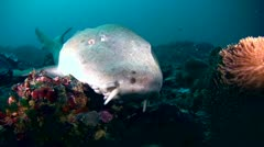 Tawny nurse shark (Nebrius ferrugineus) close up head Stock Footage