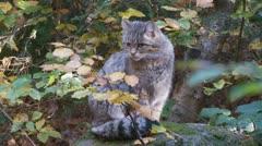 Wild cat Stock Footage