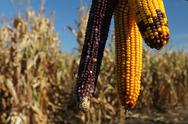 Yellow and red corncob. Stock Photos