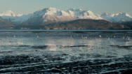 Shorebirds with snowy mountains Stock Footage