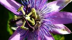 Passiflora Stock Footage