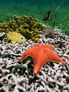 cushion starfish over coral - stock photo