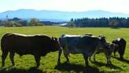 Cattle on a pasture Stock Footage
