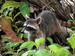 raccoon in the jungle of costa rica - stock photo