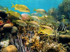 shoal of grunt fish in a reef - stock photo