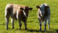 Calves on a pasture Stock Footage