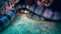 Banded or Yellow-lipped sea krait (Laticauda colubrina) Stock Footage