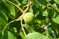 Green walnut growing on a tree close up Stock Photos
