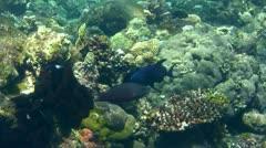 Redtooth triggerfish (Odonus niger) Stock Footage