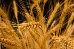 agrarian, agricultural, agriculture, arms, autumn, bakery, barley, black, bre - stock photo