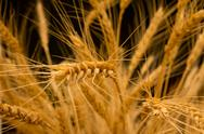 Stock Photo of agrarian, agricultural, agriculture, arms, autumn, bakery, barley, black, bre