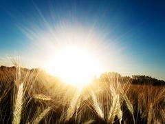 golden wheat field - stock photo