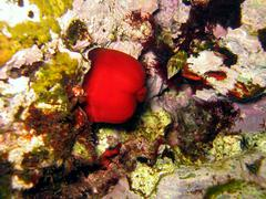 actinia equina - stock photo