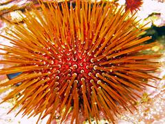 Close-up urchin Stock Photos