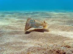 cuttlefish on the sand - stock photo