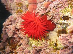 Mediterranean red anemone - stock photo