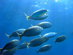 Sea bream and underwater surface Stock Photos
