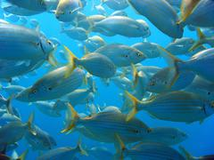 Shoal of sea-bream Stock Photos