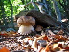 Boletus ligths Stock Photos