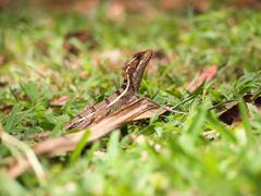 basiliscus basiliscus lizard - stock photo