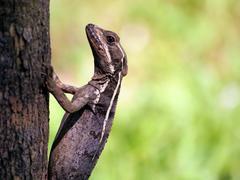 basilisk lizard - stock photo