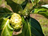 Stock Photo of noni fruit and flower