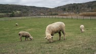 Stock Video Footage of Grazing Sheep