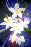 Abstract image of frangipani flowers in light burst Stock Photos