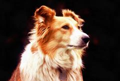 Stock Photo of collie