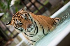 Big Indo-China tiger in the pool - stock photo