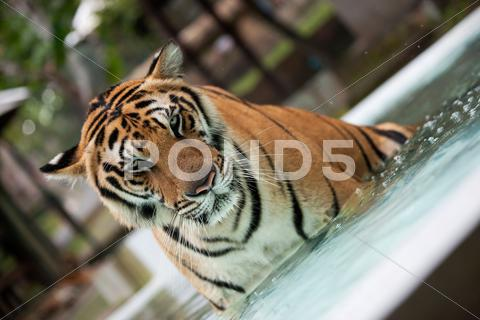Stock photo of Big Indo-China tiger in the pool