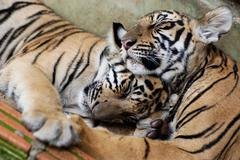 Two little tigers hugging while sleeping - stock photo