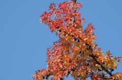 Punainen lehdet vaahtera syksyllä Kuvituskuvat