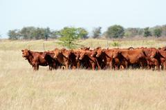 Red angus cattle Stock Photos