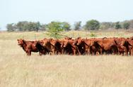 Stock Photo of Red angus cattle