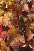 reddish foliage - stock photo